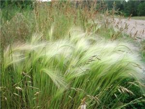 Hordeum jubatum squirrel tail grass