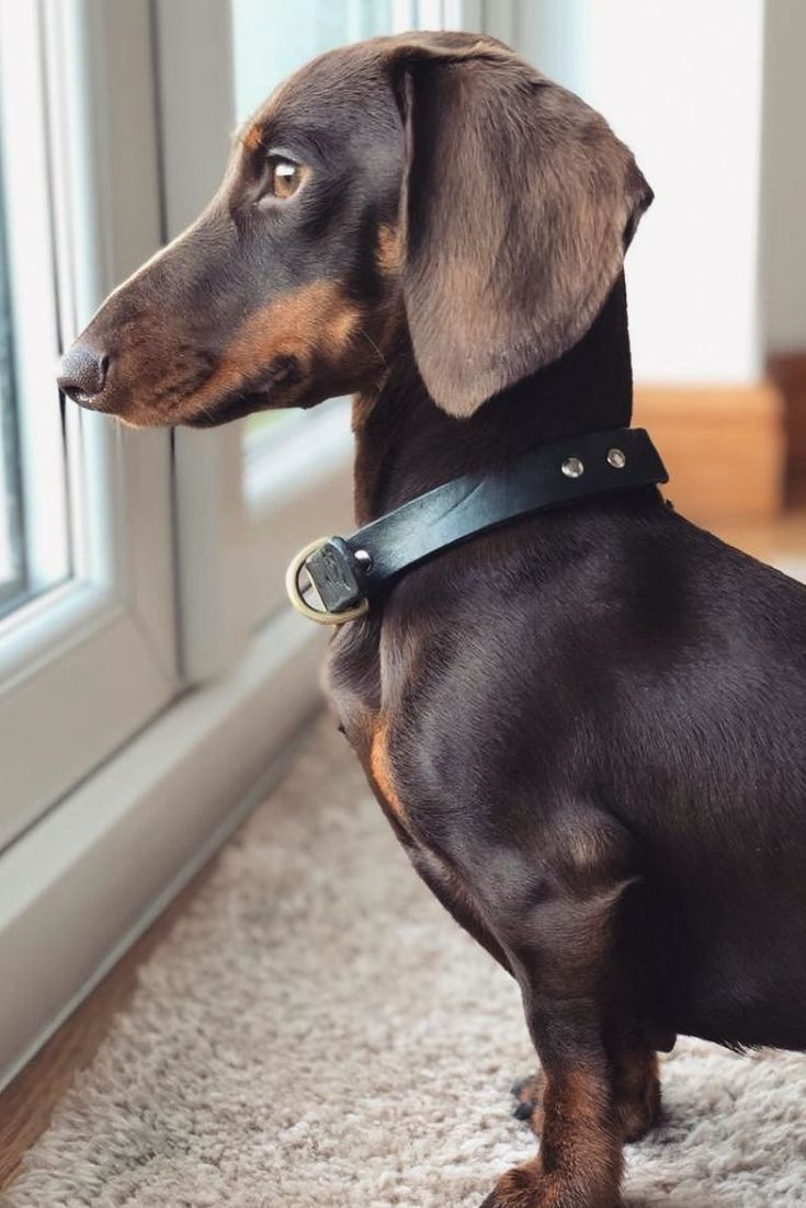A Gorgeous Miniature Dachshund Looking Out The Window The Latest