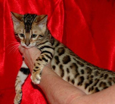 Teacup Bengal Kitten Cute Animals Kittens Cats And Kittens