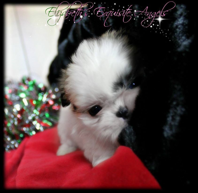 Cutest Little Imperial Shih Tzu Love This Puppy