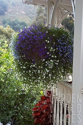 HANGING BASKET WITH LOBELIA AND BACOPA, ON FRONT PORCH ...