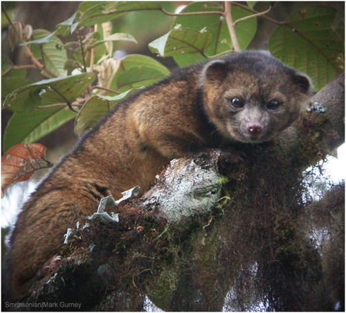 Scientists announce (very rare) discovery of (very adorable) new species of mammal called an olinguito: http://abcn.ws/16RVoQn