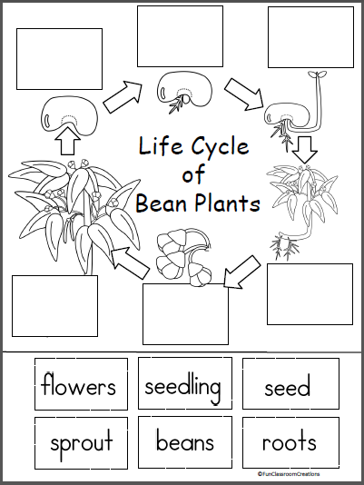 life cycle of a bean plant activity
