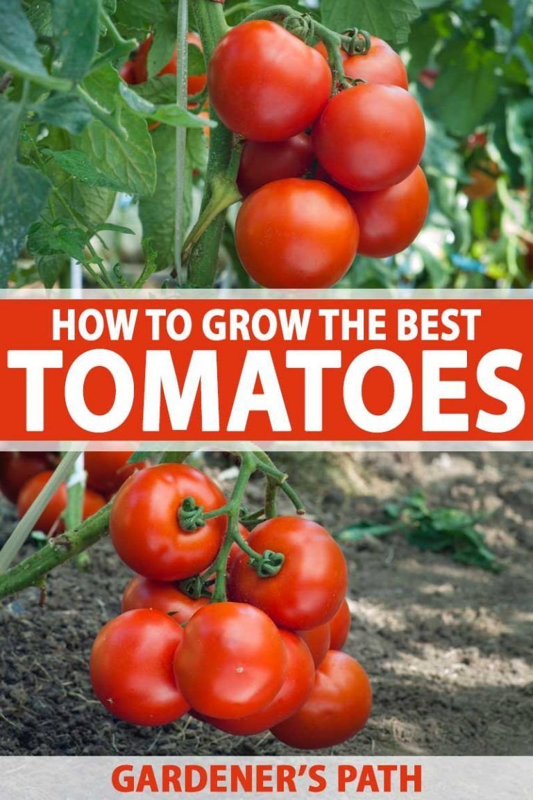 Do You Love Juicy Tomatoes That Are Full Of That Homegrown 400 x 300
