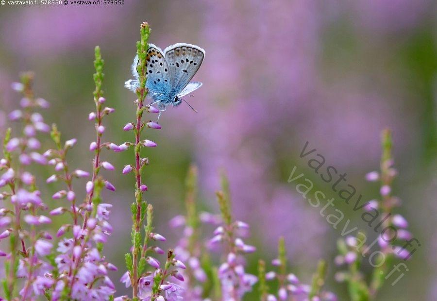 Kangassinisiipi - kangassinisiipi Plebeius argus sinisiivet perhonen…