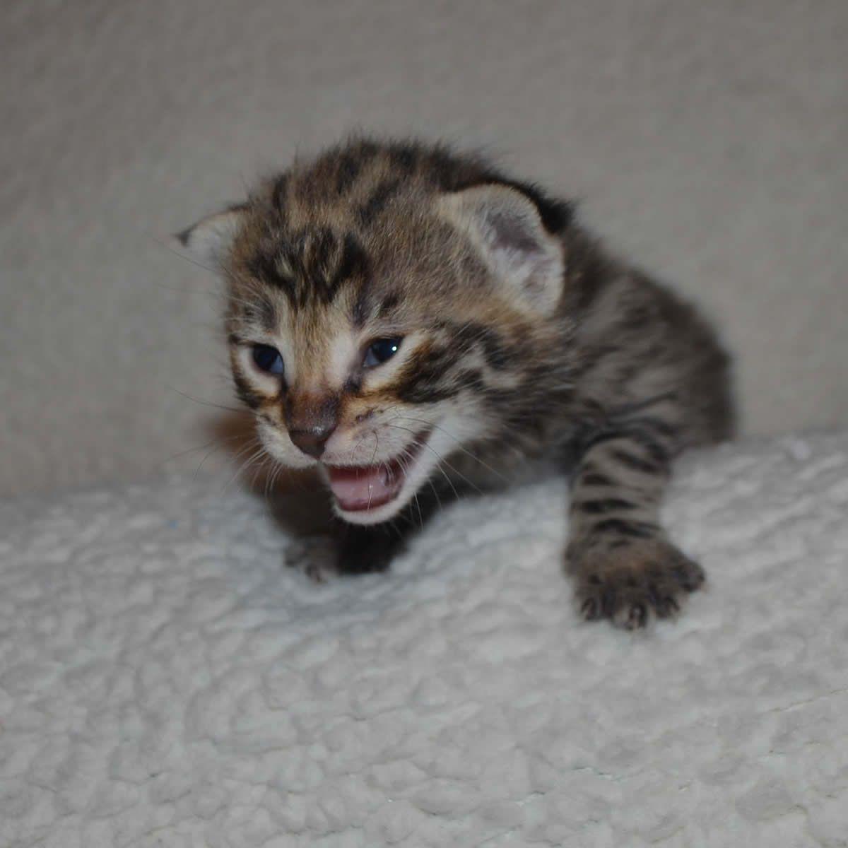Pin By Amanukatz On Savannah Kittens Pictures Savannah Kitten Savannah Kittens For Sale Savannah Cat Price