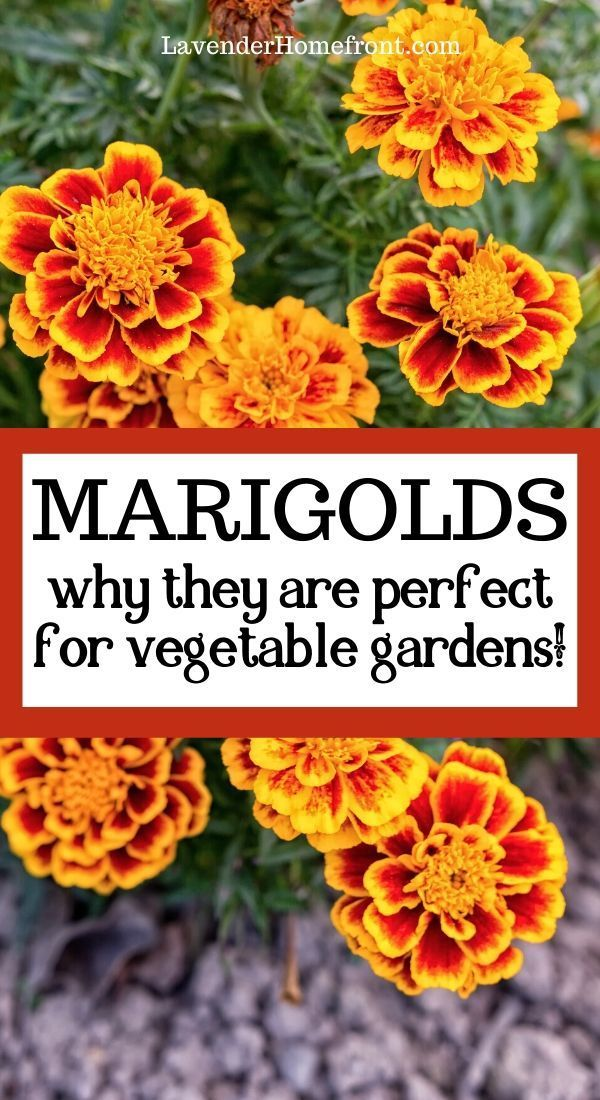 Photo of Why You Should Add Marigolds To Your Vegetable Garden