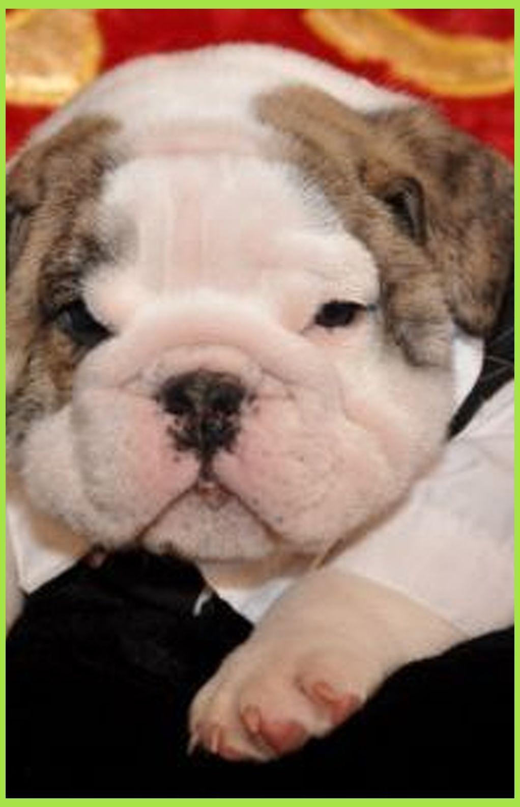 Free English Bulldog Adoption Lovely English Bulldog Puppies For