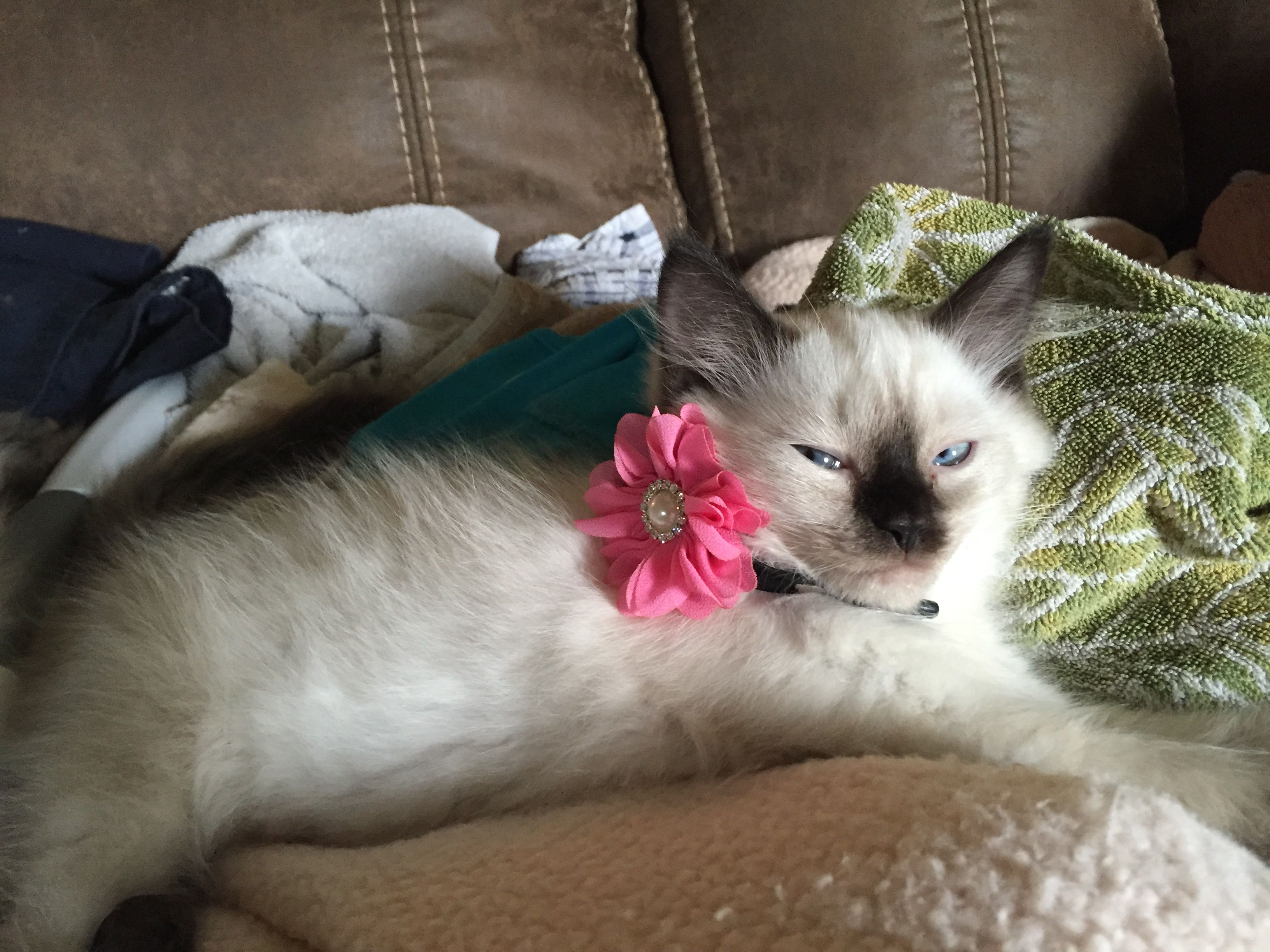 Screensaver, Dolly before adoption | Ragdoll Floppy Cats ...