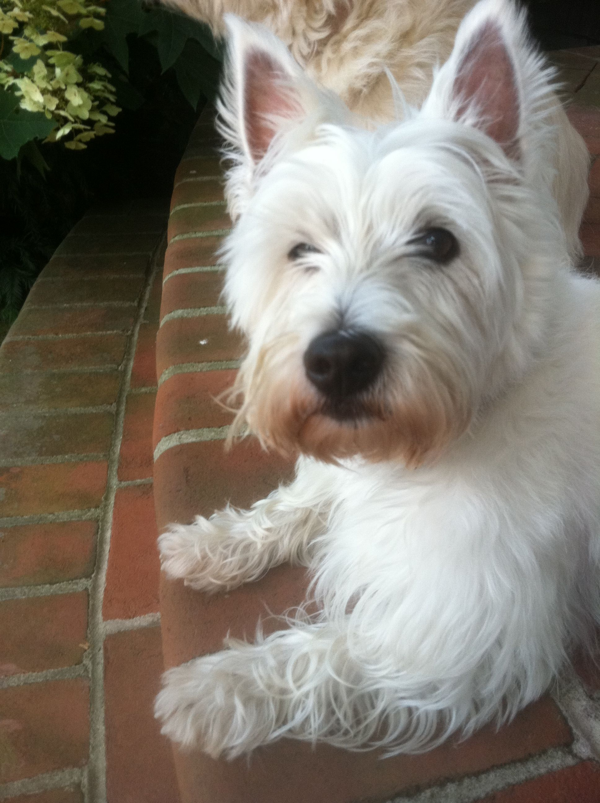 Pin By Thomas Barr On Westie Westie Puppies Animals Beautiful Dog Friends