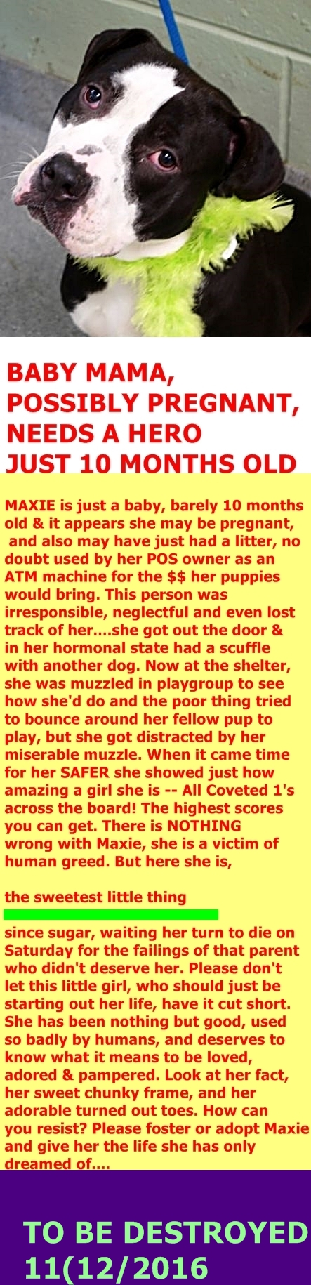 SAFE 11-12-2016 by Second Chance Rescue --- Manhattan Center MAXIE – A1094644  ***POSSIBLY PREGNANT***DOH HOLD – B***  FEMALE, BLACK / WHITE, PIT BULL MIX, 9 mos OWNER SUR – ONHOLDHERE, HOLD FOR DOH-B Reason STRAY Intake condition PREGNANT Intake Date 10/24/2016  http://nycdogs.urgentpodr.org/maxie-a1094644/