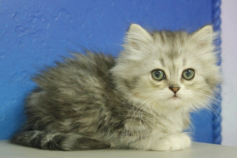 Bunny Silver Mitted Tabby Female Ragamuffin Kitten Ragamuffin Kittens Ragamuffin Cat Teacup Kitten