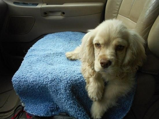 Meet Napoleon -Adoption Pending, a Petfinder adoptable Cocker Spaniel Dog | Kannapolis, NC | Hi There,My name is Napoleon but these nice rescue folks call me Napolie.     I am a 3 1/2 month...