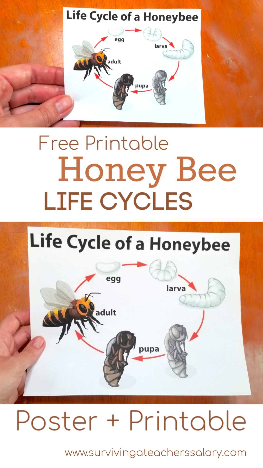 Free Bee Amp Butterfly Life Cycle Printables Amp Puzzles In