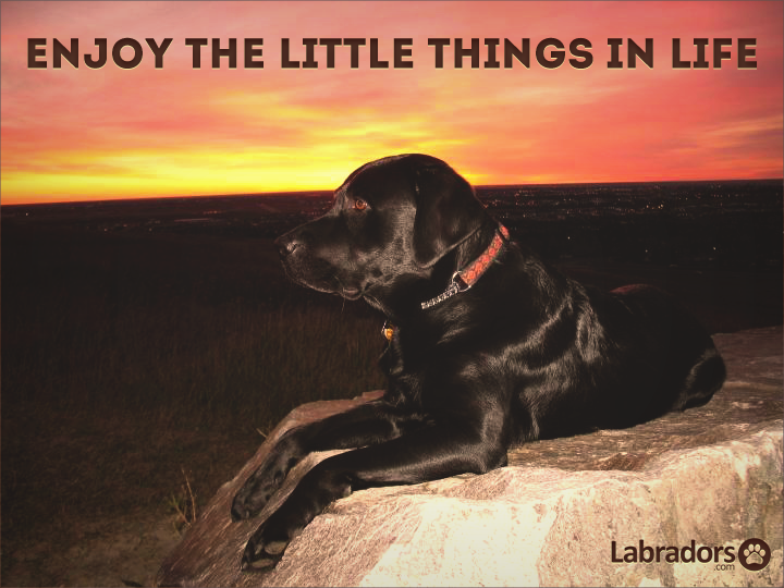 Enjoy the little things in life labradors.com