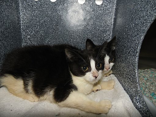 Henderson Nc Domestic Shorthair Meet Randy Reba A Cat For Adoption Cat Adoption Puppy Adoption Pets