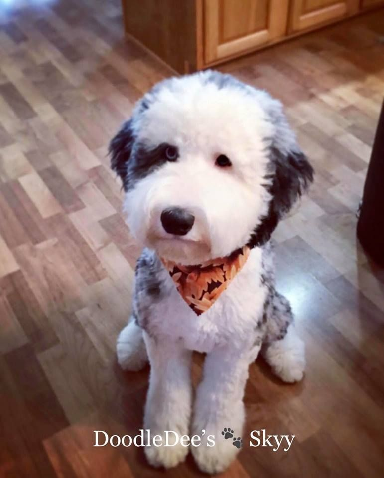 Skyy Is A Blue Merle F1 Sheepadoodle She Is Part Of Our Breeding