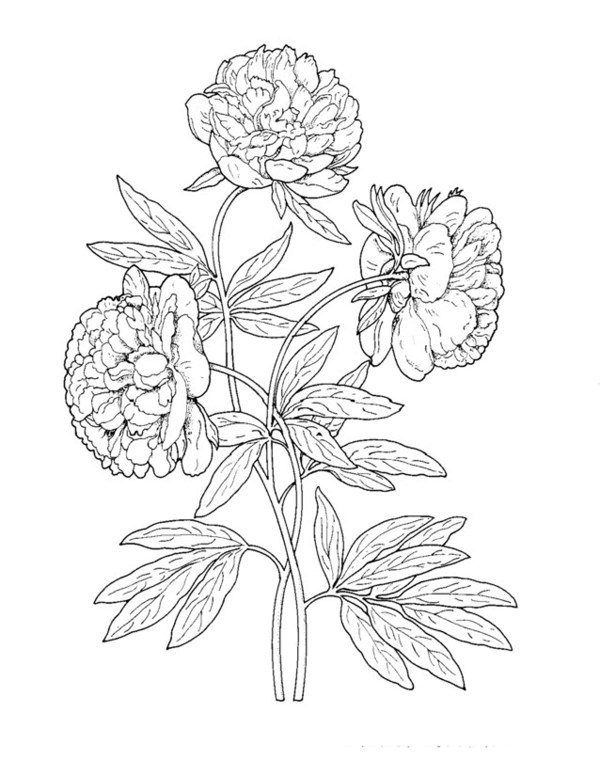Раскраска красивый садовый цветок пион в 2020 г ...