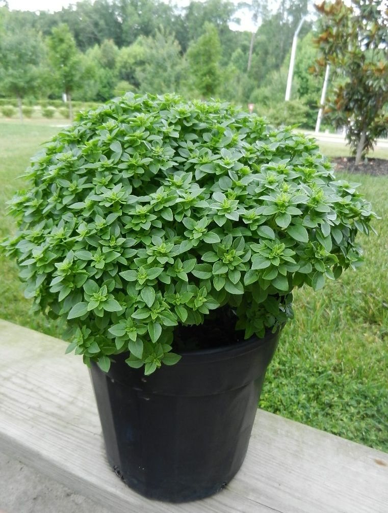 Boxwood Basil Attractive And Easy To Use When Cooking Or Garnishing Food Basil Plant Basil Seeds Amaranth Plant