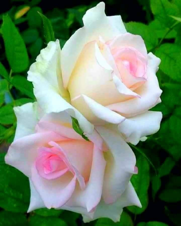 beautiful! | A Rose by Any Other Name... | Beautiful rose flowers, Growing roses, Beautiful roses