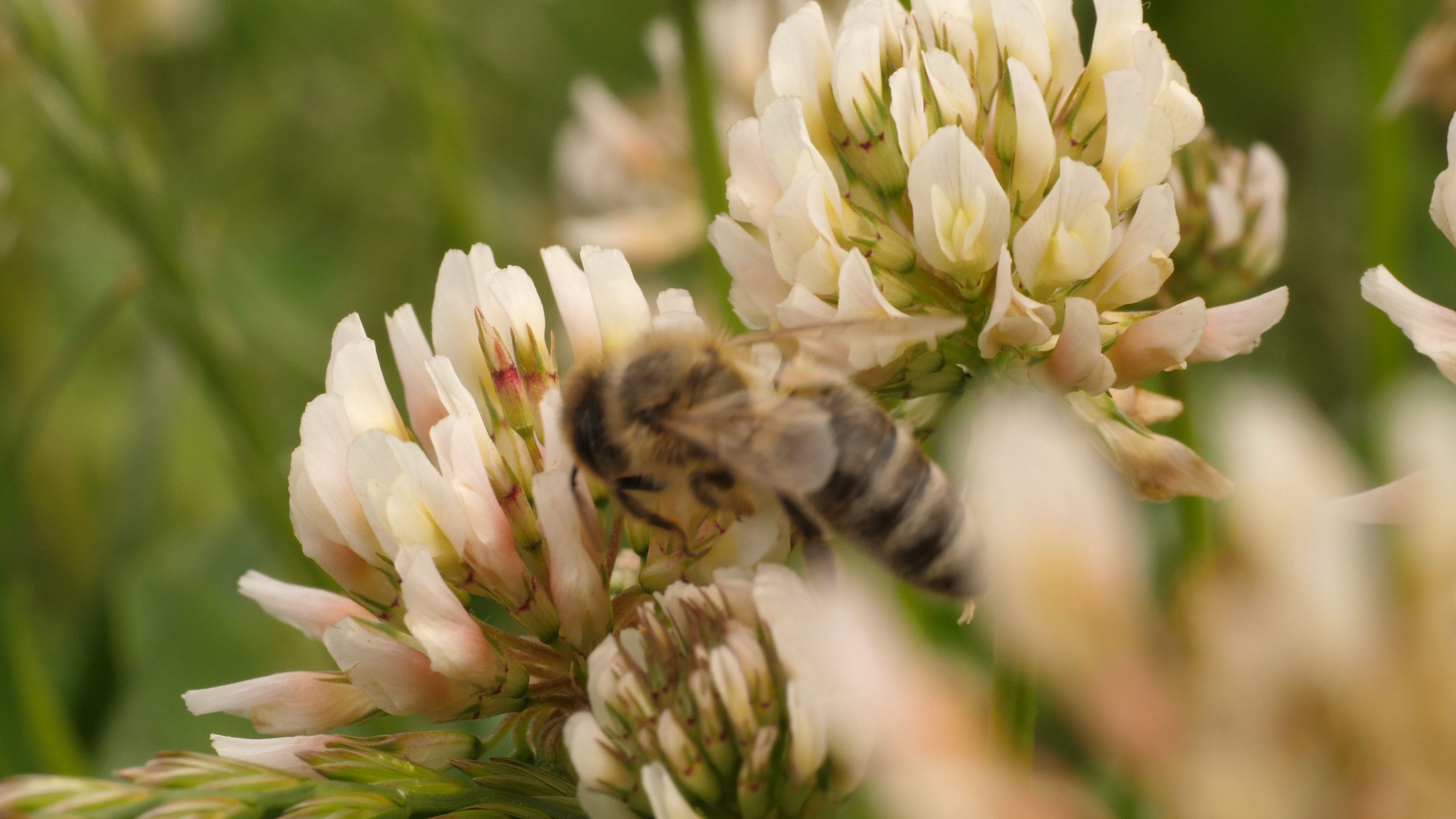 Macro Shot Of Honey Bee On Clover Flowers Stockvideos By Gdmpro