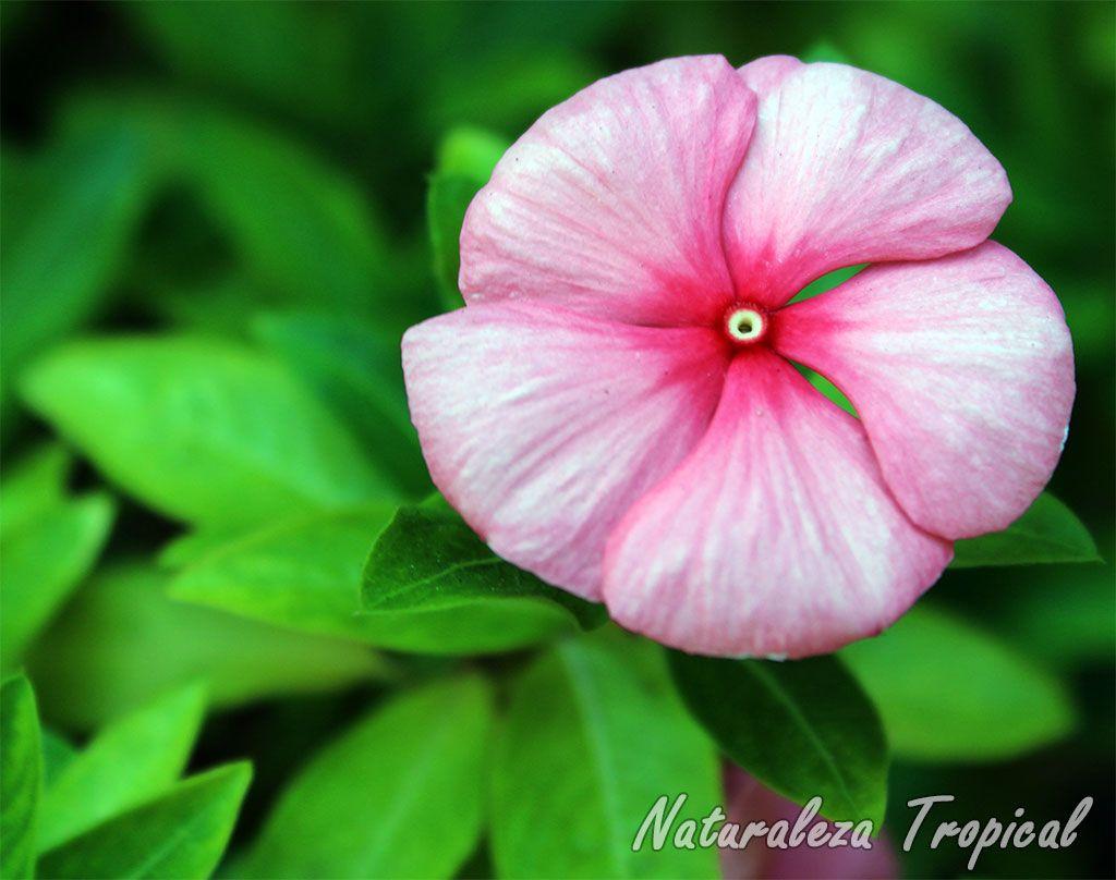 Foto de la flor vicaria vinca rosea o catharanthus roseus for Plantas ornamentales y medicinales