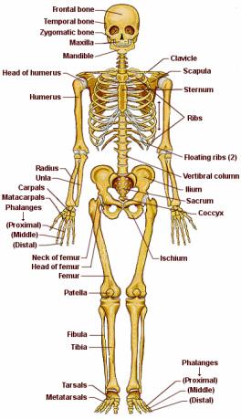 Huesos Del Torax Buscar Con Google Huesos Del Cuerpo Huesos Del Cuerpo Humano Sistema Esqueletico