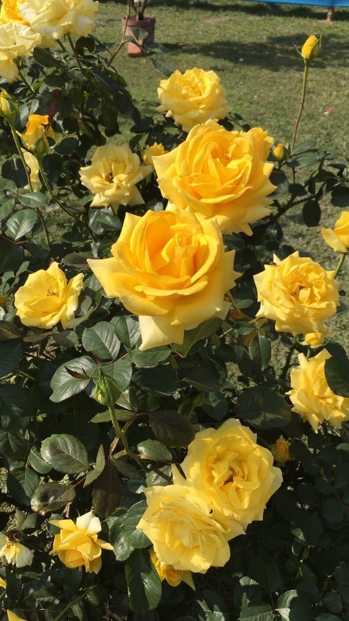 Calcutta India Flowers Pretty Flowers Beautiful Roses