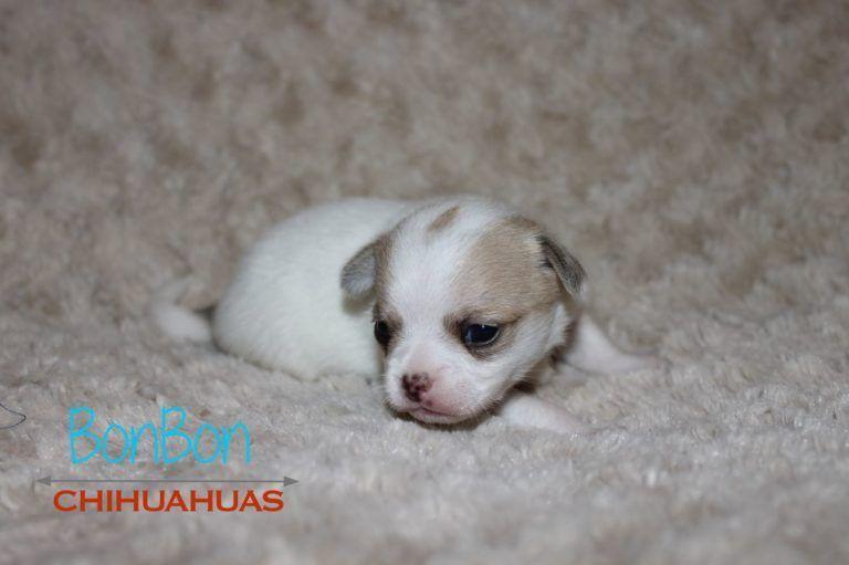 Chihuahua Puppies For Sale Chihuahua Puppies Chihuahua Chihuahua Dogs
