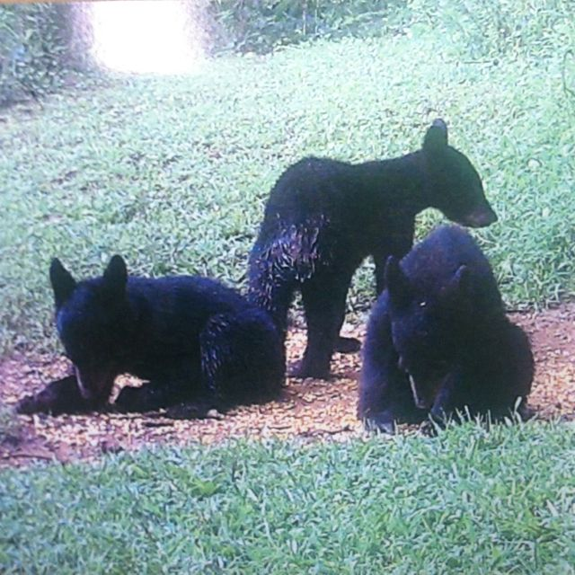 In the back yard. I love Tennessee   Black bear, Animals, Pets
