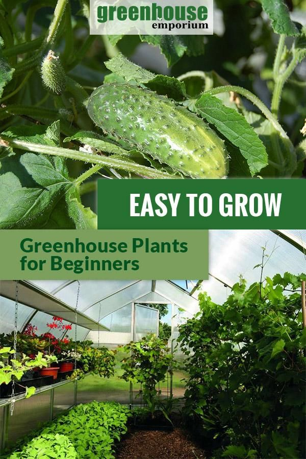 42 Easy To Grow Plants For Greenhouse Beginners Greenhouse Plants Greenhouse Gardening Greenhouse Growing