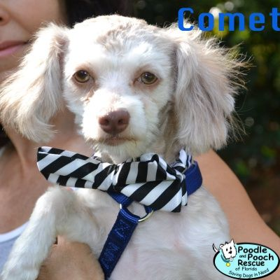 Comet Is A 7 Month Old 8 Pound Maltese Blend Boy Poodle And Pooch Rescue Adoptable Dogs Www Pprfl Org Dog Adoption Pooch Poodle