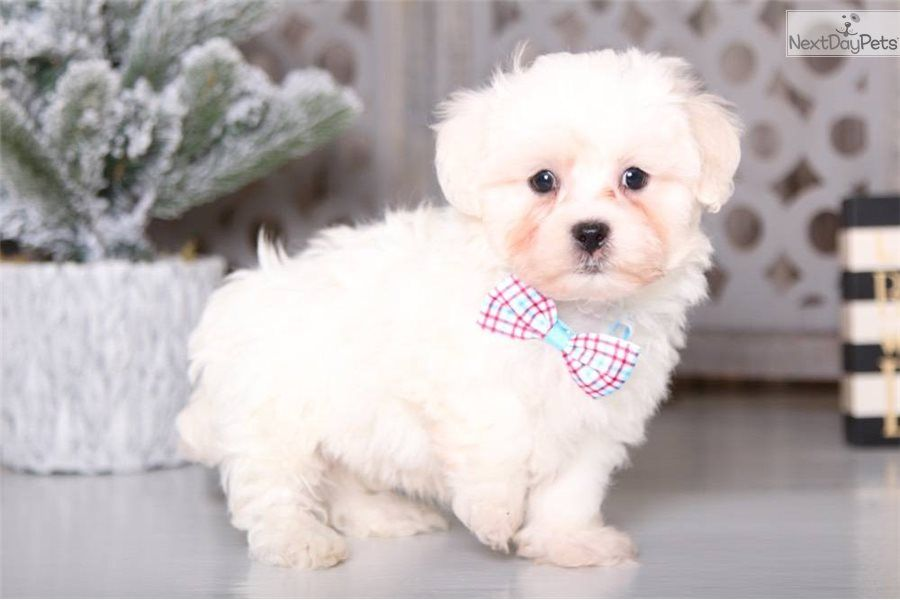 Dakota Shichon Puppy For Sale Near Columbus Ohio C8fd8892 4061 Shichon Puppies For Sale Puppy Owner Shichon Puppies