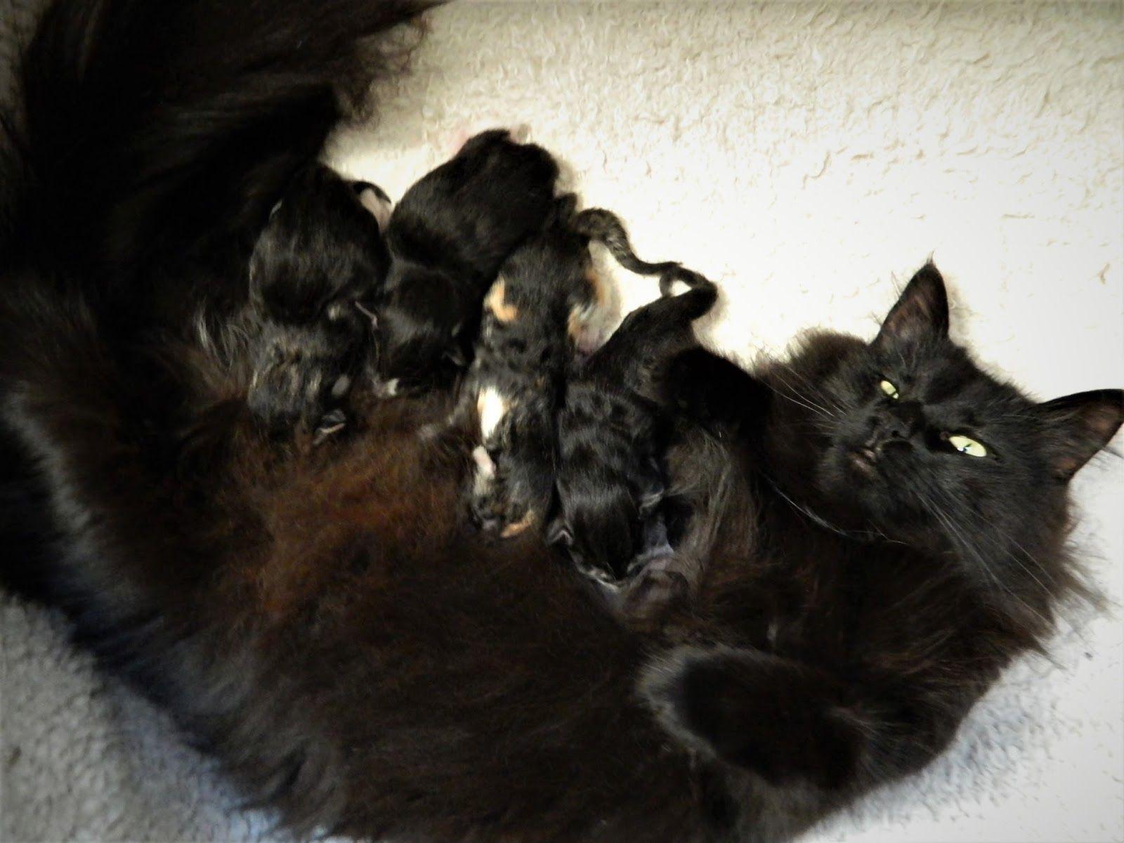 Image result for norwegian forest black cat Norwegian