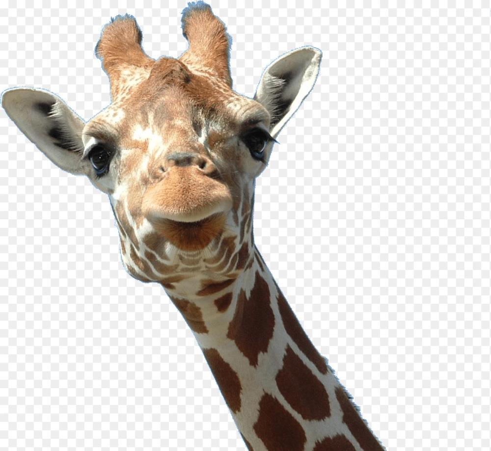 Giraffe Head Png Giraffe Face Transparent Png Stickpng 1163 1069 Png Download Free Transparent Background Giraffe Head Png P Giraffe Animals Giraffe Head