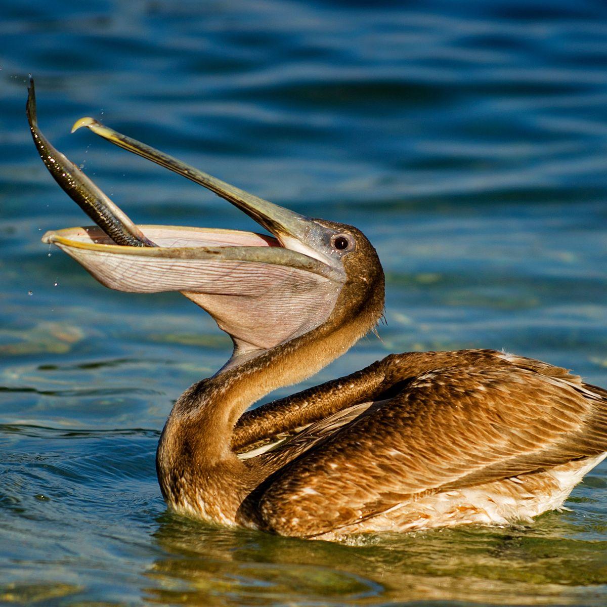 Brown Pelican Pelecanus Occidentalis About Animals Pelican Sea Birds Bird