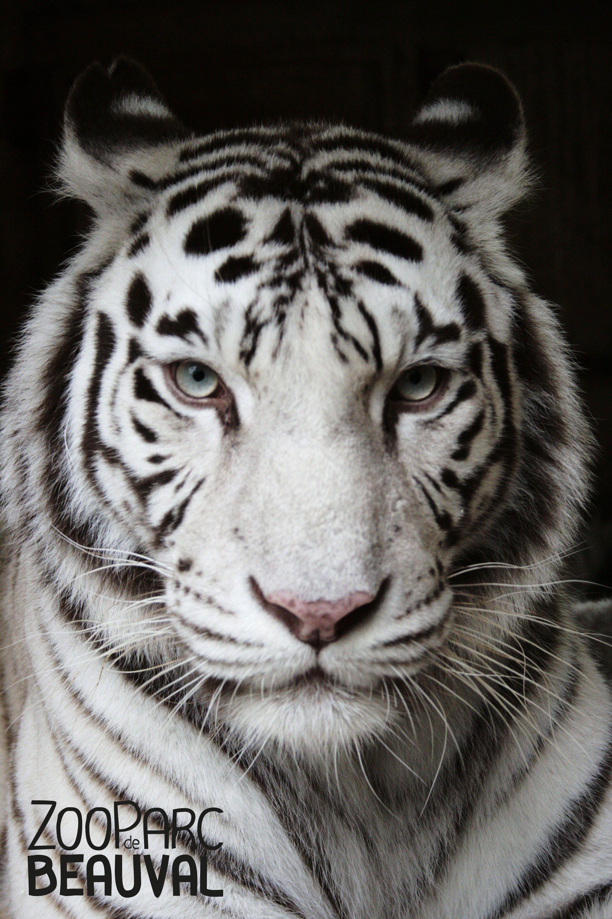 Femelle tigre blanc du zooparc de beauval fauves pinterest animaux felin et zoo de beauval - Image dessin tigre ...