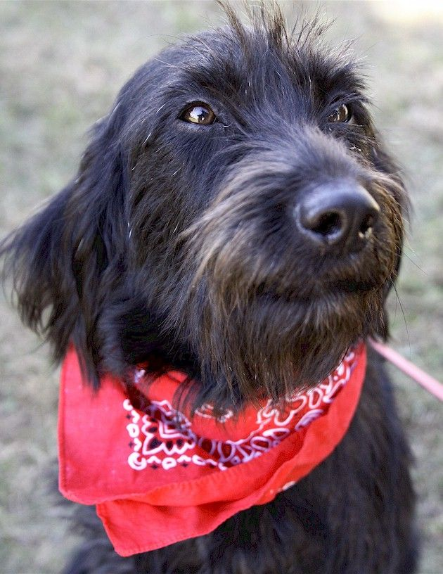 German Wirehaired Pointer Mixes Are The Cutest 3 Puppy Love And