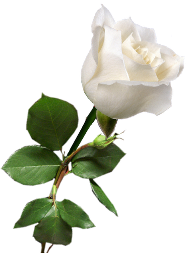 Rosa Blanca Pretty Flowers Pictures Beautiful Roses Beautiful Rose Flowers