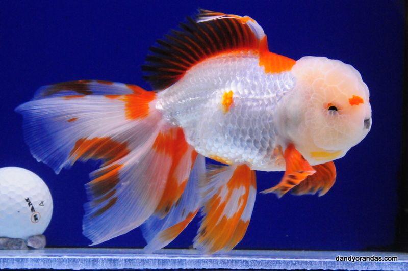 Red White Pompom Oranda Dandyorandas Com Goldfish Tropical Fish Fish Kingdom