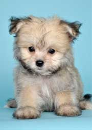 New Breeds Justpuppies Net Pomeranian Mix Puppies Pomeranian Mix Cute Animals