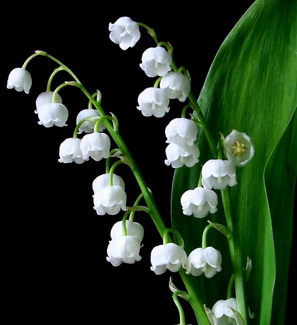 Poison Lilyofthevalley Herbs Green Nature Forest Lily Of The