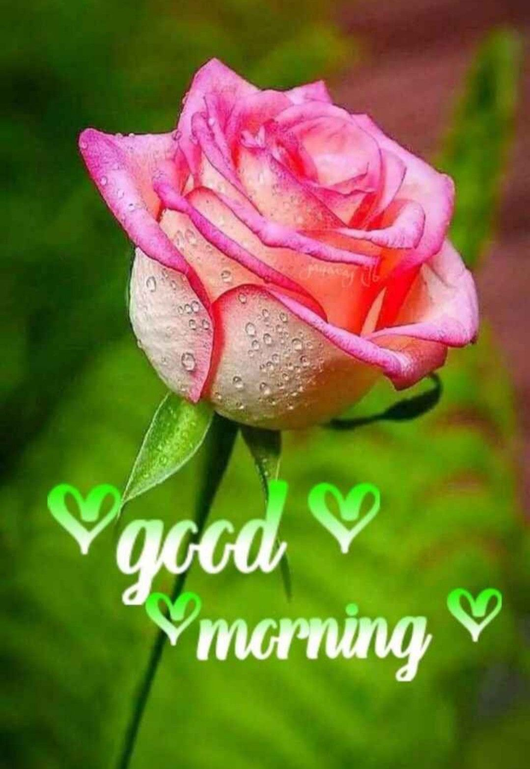 Pin by gee tha on Morning greetings quotes   Good morning flowers ...
