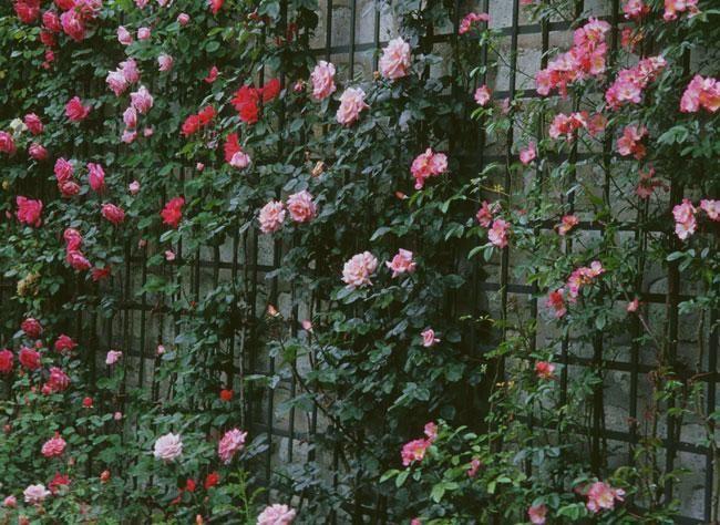 comment planter un rosier au pied d 39 un m r fleurs plantes pinterest rosier le pied et mur. Black Bedroom Furniture Sets. Home Design Ideas
