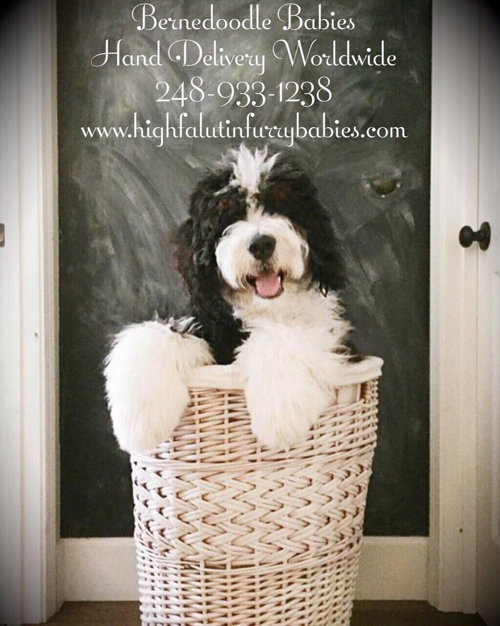 Bernedoodle Puppies For Adoption Now Check Out Www