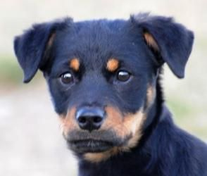 Adopt Athena On Rottweiler Mix Dog Love Rescue Dogs