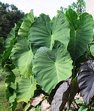 How to Grow Elephant Ears - Gardening Tips & Advice - Burpee #elephantearsandtropicals