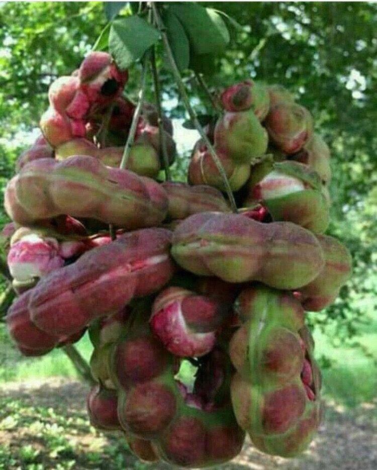 Nature's beauties. | Fruit garden, Weird fruit, Fruit plants  Guamuchiles
