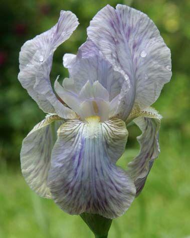 Signa The Species Iris Group Of North America Iris Flowers Iris Wild Iris
