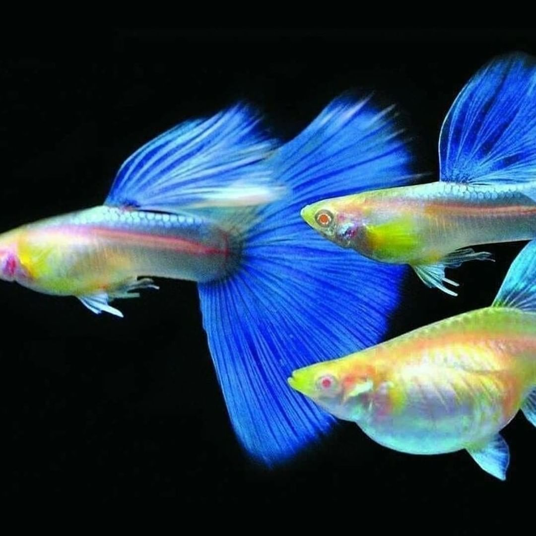 Pretty Guppy Blue Sky Pandora Fish Guppy Fish Tropical Fish Aquarium Tropical Freshwater Fish